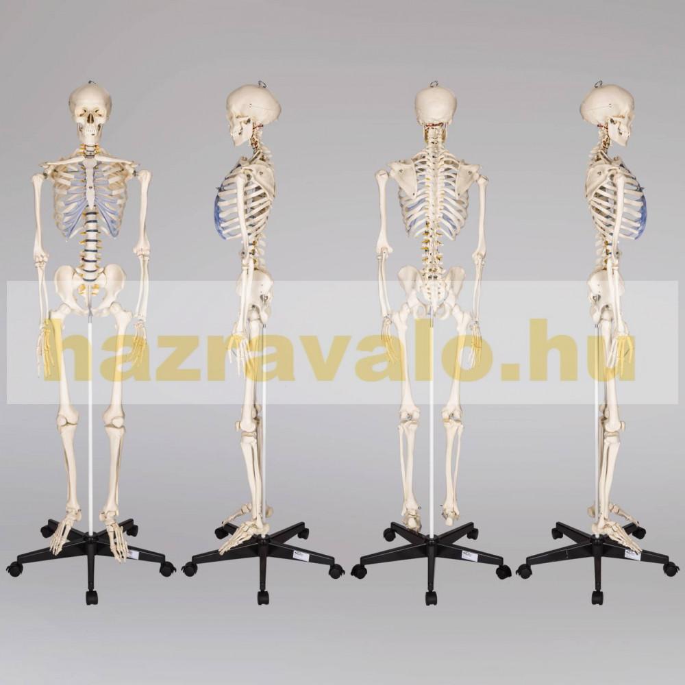 Életnagyságú csontváz