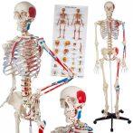 Eembernagyságú anatómiai csontváz izmok jelölésévek a csontok és az izom számozással